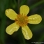 Thierry Pernot - Ranunculus flammula L. [1753]