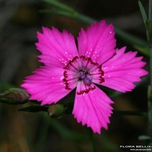 Dianthus deltoides L. (Oeillet à delta)