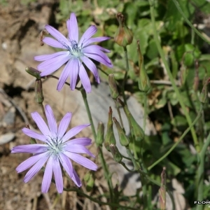 Photographie n°177766 du taxon Lactuca perennis L.