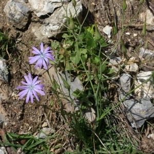 Photographie n°177767 du taxon Lactuca perennis L.