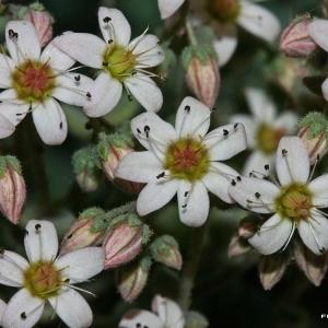 Sedum dasyphyllum L. subsp. dasyphyllum (Orpin à feuilles épaisses)