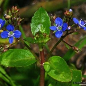 Photographie n°177846 du taxon Veronica beccabunga L.