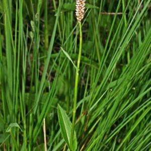 Photographie n°177922 du taxon Polygonum bistorta L.
