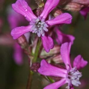 Photographie n°178011 du taxon Silene viscaria (L.) Borkh.