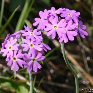 Primula farinosa subsp. alpigena O.Schwarz (Primevère alpine)