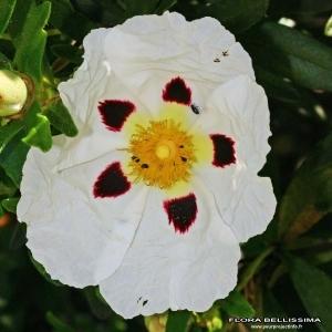 Cistus ladanifer L. (Ciste à gomme)