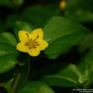 Photographie n°178136 du taxon Lysimachia nemorum L.