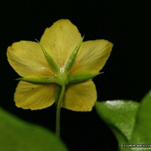 Photographie n°178139 du taxon Lysimachia nemorum L.