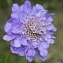 Thierry Pernot - Scabiosa lucida Vill. [1779]