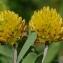 Thierry Pernot - Trifolium badium Puccin.
