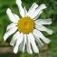 Thierry Pernot - Tanacetum corymbosum (L.) Sch.Bip. [1844]
