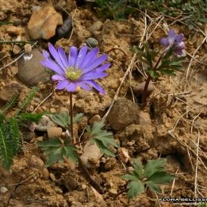 Photographie n°178280 du taxon Anemone blanda Schott & Kotschy