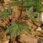Thierry Pernot - Anemone blanda Schott & Kotschy