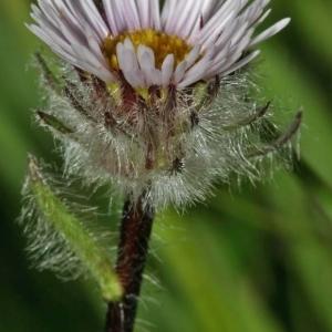 Erigeron uniflorus L. (Vergerette à une fleur)