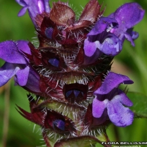 Prunella vulgaris L. (Brunelle commune)