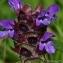Thierry Pernot - Prunella vulgaris L.