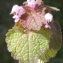 Liliane Roubaudi - Lamium purpureum L. [1753]