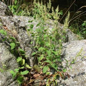 Photographie n°178574 du taxon Teucrium scorodonia L.