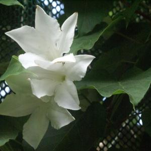 Photographie n°178650 du taxon Mandevilla suaveolens Lindl.