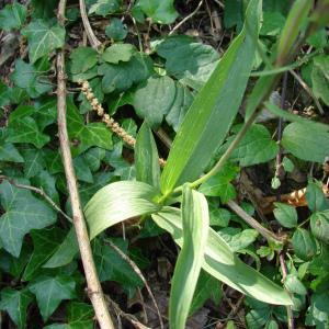 Photographie n°178761 du taxon Cephalanthera rubra (L.) Rich. [1817]