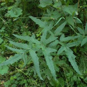 Heracleum sphondylium var. angustifolium (Crantz) C.C.Gmel.
