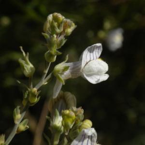 Photographie n°178857 du taxon Linaria repens (L.) Mill. [1768]