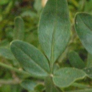 Photographie n°178965 du taxon Jasminum fruticans L. [1753]