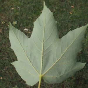Photographie n°179112 du taxon Acer pseudoplatanus L.