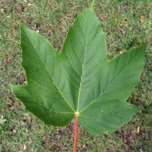 Photographie n°179113 du taxon Acer pseudoplatanus L.