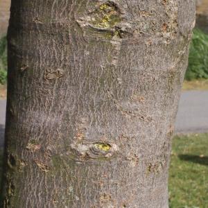 Photographie n°179118 du taxon Acer pseudoplatanus L.
