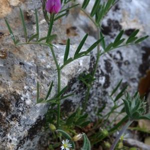 Photographie n°179120 du taxon Vicia sativa subsp. nigra (L.) Ehrh. [1780]
