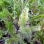 Emmanuel Stratmains - Echium vulgare L.