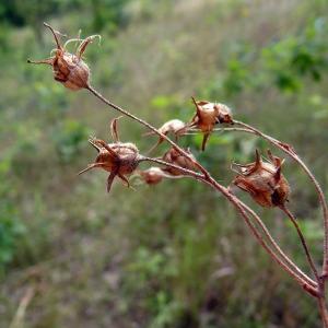 Photographie n°179167 du taxon Saxifraga granulata L.