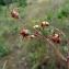 Emmanuel Stratmains - Saxifraga granulata L.