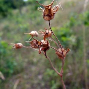 Photographie n°179168 du taxon Saxifraga granulata L.