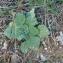 Claire  Rigoulat - Salvia sclarea L.