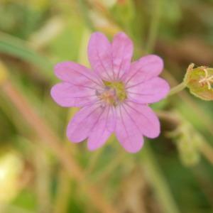 - Geraniaceae