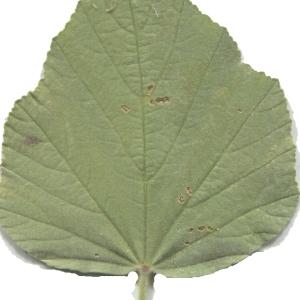 Photographie n°179253 du taxon Althaea officinalis L. [1753]