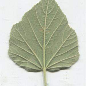 Photographie n°179254 du taxon Althaea officinalis L. [1753]