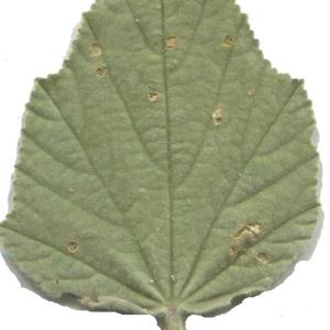 Photographie n°179256 du taxon Althaea officinalis L. [1753]