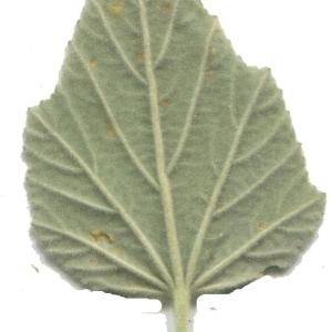 Photographie n°179257 du taxon Althaea officinalis L. [1753]