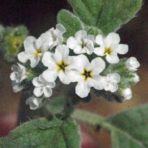 Heliotropium europaeum L. (Héliotrope commun)