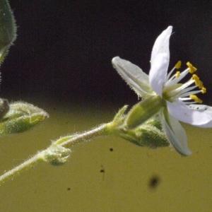 Photographie n°179311 du taxon Spergularia marina (L.) Besser [1821]