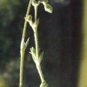 Photographie n°179315 du taxon Spergularia marina (L.) Besser [1821]