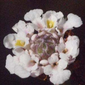 Phyla nodiflora var. minor (Gillies & Hook.) N.O'Leary & Múlgura (Erba-Luigia americana)