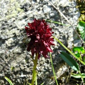 - Nigritella nigra subsp. austriaca Teppner & E.Klein [1993]