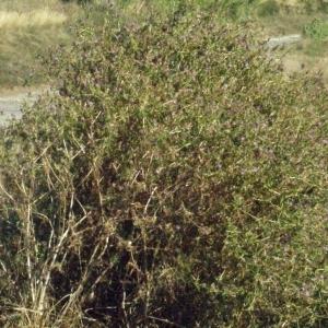 Photographie n°179338 du taxon Centaurea calcitrapa L. [1753]