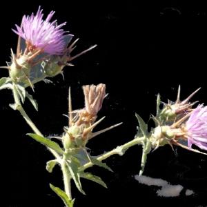 Photographie n°179340 du taxon Centaurea calcitrapa L. [1753]