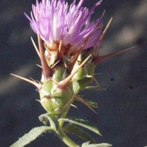 Photographie n°179341 du taxon Centaurea calcitrapa L. [1753]