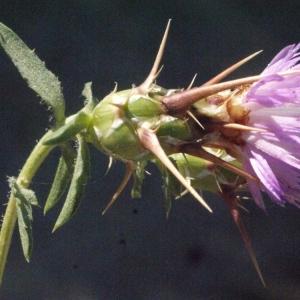 Photographie n°179342 du taxon Centaurea calcitrapa L. [1753]
